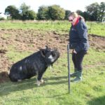 Dave the Kunekune sitting for a treat!